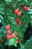 Niederlassung des Eibenbaums mit giftigen Beeren Stockfoto