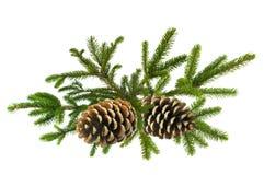 Niederlassung des grünen Weihnachtsbaums mit den Kegeln lokalisiert auf Weiß Lizenzfreie Stockfotos