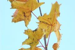 Niederlassung des Herbstahorns mit goldenen Blättern auf dem Hintergrund des hellen Himmels Lizenzfreie Stockfotos