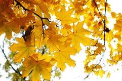 Niederlassung des Herbstahorns mit goldenen Blättern auf dem Hintergrund des hellen Himmels Lizenzfreie Stockbilder