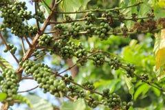Niederlassung des Kaffeebaums mit grünen Bohnen lizenzfreies stockfoto