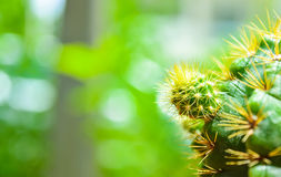 Niederlassung des Kaktus Lizenzfreies Stockbild