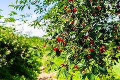 Niederlassung des Kirschbaums auf dem Gebiet an einem Sommertag Lizenzfreies Stockfoto