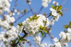 Niederlassung des Kirschbaums im Zeitraum des Frühlingsblühens Lizenzfreies Stockfoto