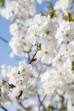 Niederlassung des Kirschbaums im Zeitraum des Frühlingsblühens Lizenzfreies Stockbild