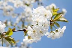 Niederlassung des Kirschbaums im Zeitraum des Frühlingsblühens Lizenzfreie Stockbilder