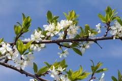 Niederlassung des Kirschbaums im Zeitraum des Frühlingsblühens Stockfotografie