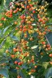 Niederlassung des Kirschbaums mit großer Zahl von unausgereiften Beeren Lizenzfreie Stockfotografie