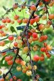 Niederlassung des Kirschbaums mit großer Zahl von unausgereiften Beeren Stockbilder