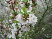 Niederlassung des Kirschbaums mit kleinen Blumen Stockfoto