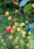 Niederlassung des Kirschbaums mit unausgereiften Beeren Stockfotos