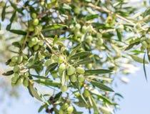 Niederlassung des Olivenbaums mit Beeren auf ihr lizenzfreie stockfotos