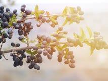 Niederlassung des Olivenbaums mit Früchten und Blättern im Herbst Lizenzfreie Stockbilder