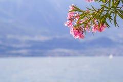 Niederlassung des rosa Oleanders gegen den Hintergrund von See Garda Stockbilder