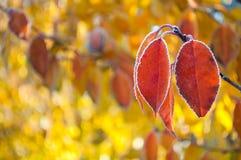 Niederlassung des roten Herbstlaubs bedeckt mit Frost auf gelbem backgro stockfotografie
