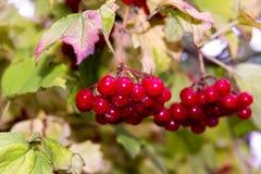 Niederlassung des roten Viburnum im Garten Helle rote Viburnumbündel im Herbst arbeiten im Garten Sammlung der Himbeerernte Stockbild