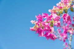 Niederlassung des schönen Bouganvillas blüht auf Hintergrund des blauen Himmels Stockbilder