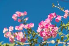 Niederlassung des schönen Bouganvillas blüht auf Hintergrund des blauen Himmels Stockfotos