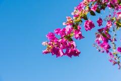 Niederlassung des schönen Bouganvillas blüht auf Hintergrund des blauen Himmels Lizenzfreie Stockfotografie