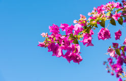 Niederlassung des schönen Bouganvillas blüht auf Hintergrund des blauen Himmels Lizenzfreies Stockfoto