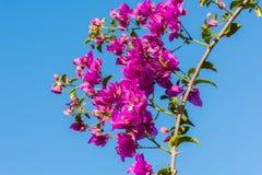 Niederlassung des schönen Bouganvillas blüht auf Hintergrund des blauen Himmels Lizenzfreie Stockfotos