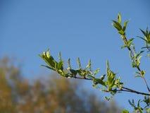 Niederlassung des Vogels - Kirsche auf blauem Himmel lizenzfreie stockbilder