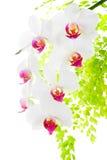 Niederlassung, die rote und weiße Orchidee mit dem Blattfarn, lokalisiert blüht Lizenzfreie Stockbilder