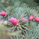 Niederlassung einer allgemeinen Fichte oder der Fichte in der Blütezeit mit rosa-beleuchteten Kegeln lizenzfreie stockfotografie