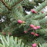 Niederlassung einer allgemeinen Fichte oder der Fichte in der Blütezeit mit rosa-beleuchteten Kegeln stockbild