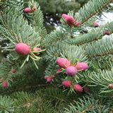 Niederlassung einer allgemeinen Fichte oder der Fichte in der Blütezeit mit rosa-beleuchteten Kegeln stockbilder
