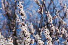 Niederlassung einer blühenden Aprikose stockfoto