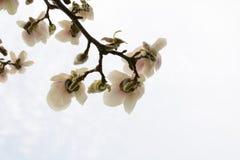 Niederlassung einer blühenden Magnoliennahaufnahme Stockfotografie