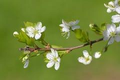 Niederlassung einer blühenden Pflaumenbaumnahaufnahme auf grünem Hintergrund Stockfoto