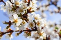Niederlassung einer Nahaufnahme des blühenden Baums Lizenzfreie Stockfotos