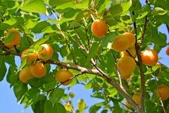 Niederlassung eines Aprikosenbaums mit reifen Früchten Lizenzfreie Stockbilder