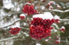 Niederlassung eines Baums eines Tannenbaums im Schnee Lizenzfreies Stockbild