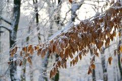 Niederlassung eines beechen Baum Fagus sylvatica L wenn der Herbstlaub mit Schnee bedeckt ist Lizenzfreies Stockfoto
