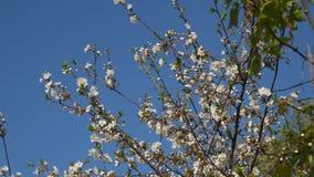 Niederlassung eines blühenden Baums gegen den blauen Himmel stock video footage