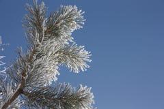 Niederlassung eines Tannenbaums Schnee-mit einer Kappe bedeckt Lizenzfreies Stockfoto