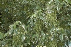 Niederlassung eines veränderten Acer-negundo Baums Lizenzfreie Stockfotos