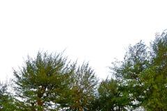 Niederlassung lokalisiert auf weißem Hintergrund, Baumschattenbild auf weißem Hintergrund lizenzfreie stockfotografie