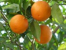 Niederlassung mit drei Orangen Lizenzfreies Stockfoto