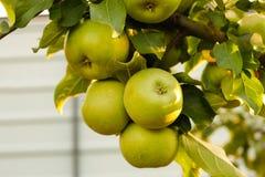 Niederlassung mit grünen Äpfeln im Garten stockbild