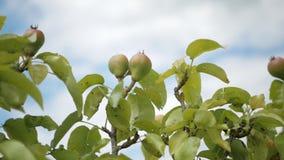 Niederlassung mit reifenden Birnen gegen den Himmel mit Wolken stock video footage