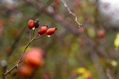 Niederlassung mit wilden rosafarbenen Beeren stockbild