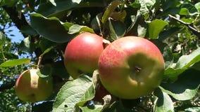 Niederlassung von Äpfeln im Garten stock footage