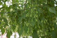 Niederlassung von Acer-negundo Baum Stockbilder