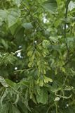 Niederlassung von Acer-negundo Baum Stockfotos