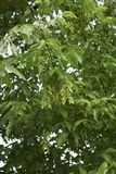 Niederlassung von Acer-negundo Baum Lizenzfreies Stockbild