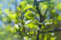 Niederlassung von Alnus glutinosa, die allgemeine Erle, schwarze Erle im Frühjahr lizenzfreies stockfoto